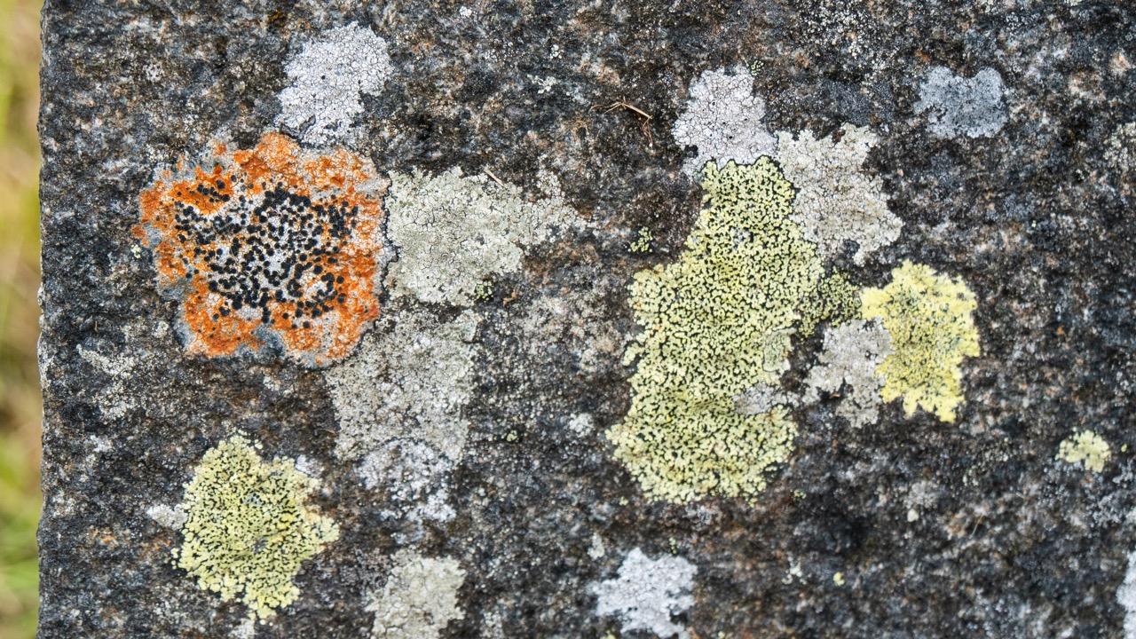 Lichen in the graveyard